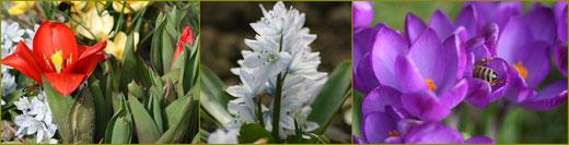 Tulipa 'Showwinner, Scilla mitschenkoana,  Crocus thomassinianus 'Ruby Giant'