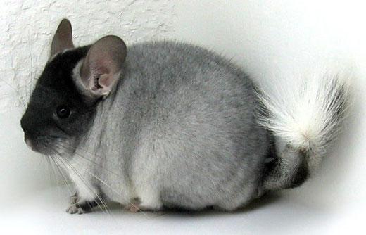 Imagen de Chinchillas.com