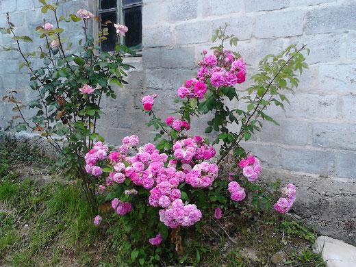 Rosal en primavera