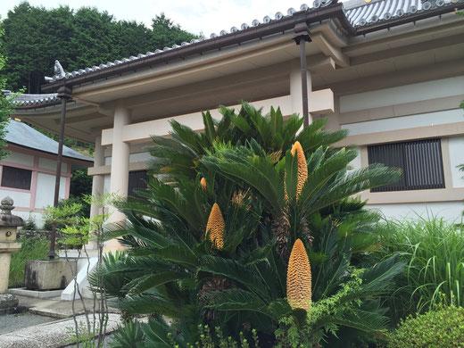 茨木市大念寺のソテツ蘇鉄