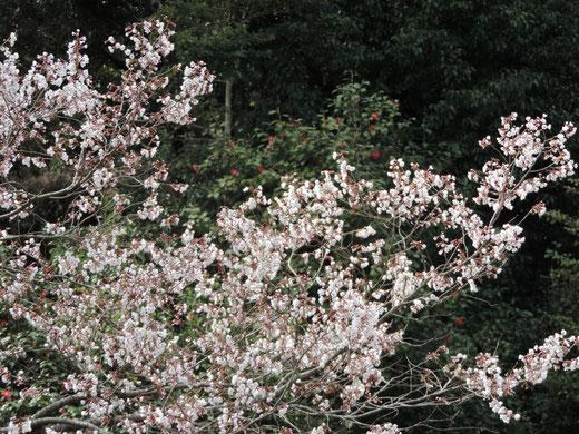 大念寺 桜