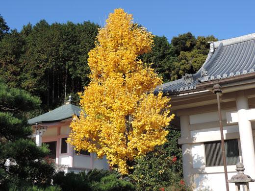 大阪府茨木市安威大念寺いちょうの木