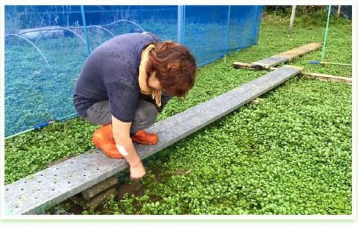 クレソンの成長の邪魔にならないよう、雑草を取り除く北川さん
