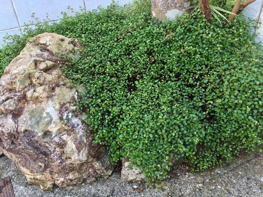 デカ過ぎる岩、、共に残念過ぎる。 ワイヤープランツでカバーしようと植えたもののモサモサになっただけ、。(汗) 他の植物ものみ込まれてしまうし、、、てことで、この岩を活かす方向に路線変更してみた!