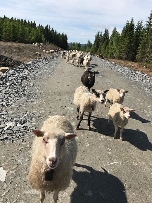 hier wird Wolle von freilaufenden Schafen produziert