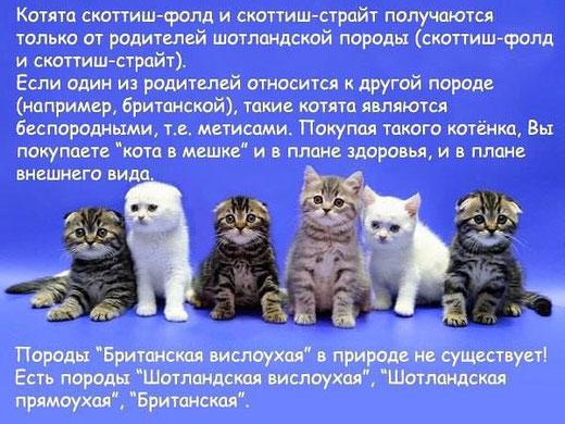 В ВЦФ разрешены вязки страйта и британской кошки в целях получения необходимых для заводчика качеств в котятах. Котята от таких вязок являютсся шотландскими страйтами.Британская порода является закрытой.