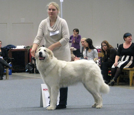 Bellatrix in Finnish Winner 2014 BF3 res-CACIB, 3 years old