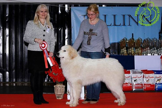 Conrad 8 months old winning BEST IN SHOW PUPPY in Tallinn International show Winter Cup 2014