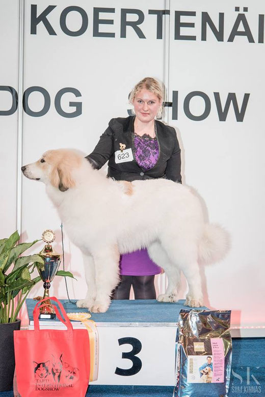 Echo de'Chien Estella 6 months old - BEST IN SHOW PUPPY 3 in Tartu International show 8.11.2015