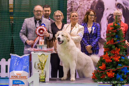 Echo de'Chien Hardy winning Best in Show Puppy in Christmas Puppy and Veteran show 2018
