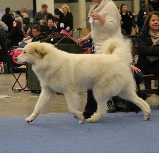 Conrad age 18 months old in Helsinki Winner 2014 winning intermediate class with EX1 CQ res-CAC