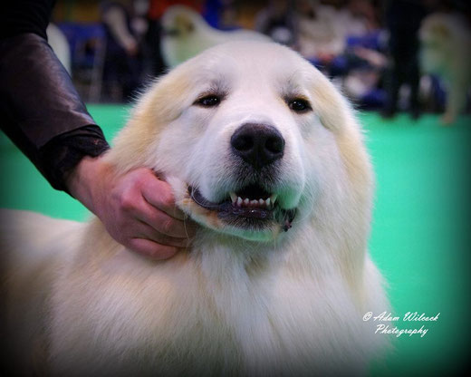 Echo de'Chien Conrad in Crufts 2016. Photo Adam Wilcock