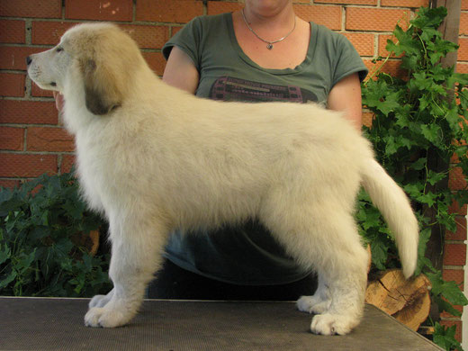 Echo de'Chien Conrad 10 weeks old - available only for show home