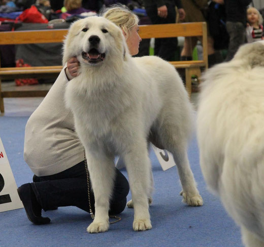 Conrad in Helsinki Winner 2014, EX1 CQ res-CAC in Intermediate class. photo: Chenespace