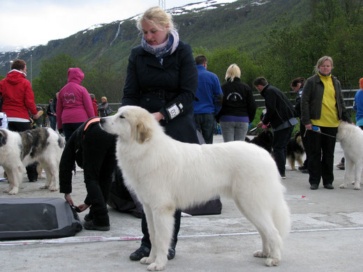 Conrad 12 months old in Tromso International show winning CAC and BOB