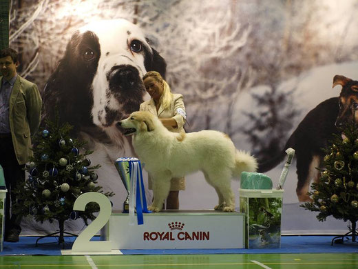 Echo de'Chien Estella 7 months old SUPRIME BEST IN SHOW II in Christmas Puppy and Veteran show 2015. Handler Susanna Virtanen, Photo Mari-Liis Koomer