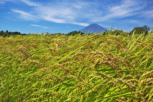 富士山の恵みで育つおいしい御殿場コシヒカリ