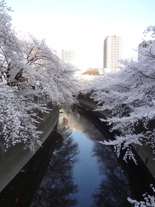 満開の桜 面影橋から