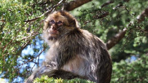 Im Affenwald bei Azrou