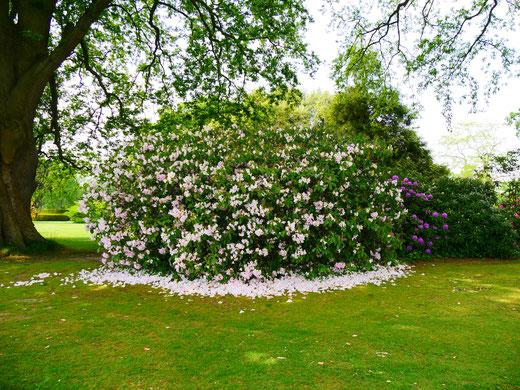 Sehenswürdigkeit englische Gärten Rhododendron Hole Park Gardens