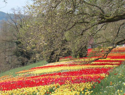 Gartenreise Deutschland: Insel Mainau im Bodensee mit Millionen von Tulpen