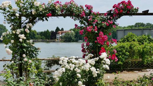 Eltville am Rhein, Wein,Sekt und Rosenstadt