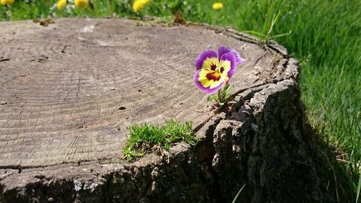 Baumstumpf mit Viola