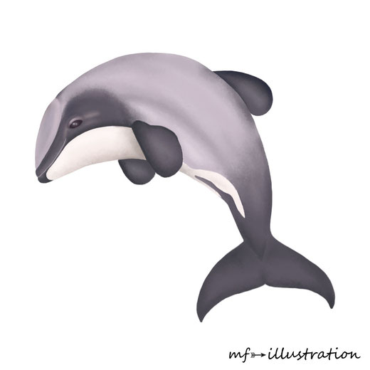Hector's dolphin (Cephalorhynchus hectori)