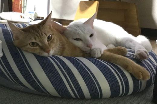 茶トラのメス猫と白猫のオス