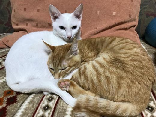 白猫オスと茶トラメス