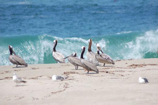 Pelikane am Strand ...