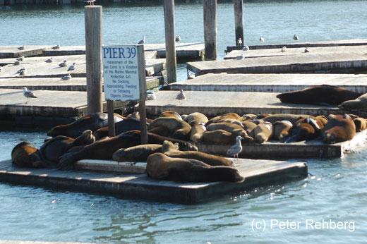 San Francisco: Pier 39, Seelöwen