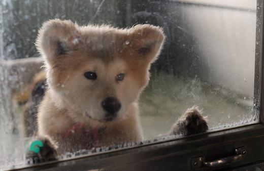 処分を待つ秋田犬の子犬。ガラス窓をひっかいていた。
