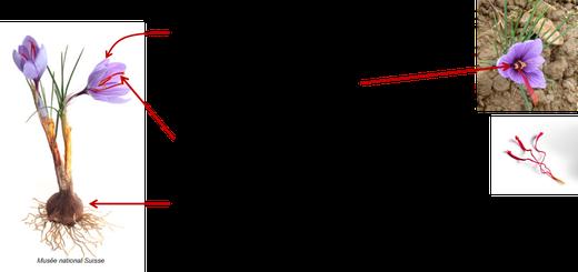 Croccus Sativus