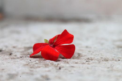 Rote Blume liegt auf grauem Boden