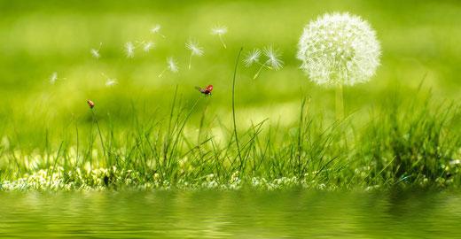Weiße Pusteblume auf einer grünen Wiese