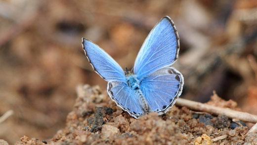 Blauer Schmetterling auf erdigem Untergrund