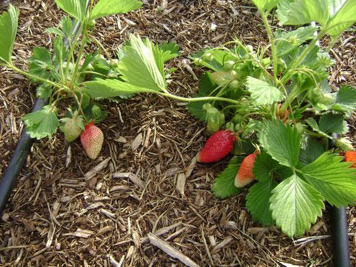 fraisiers sur BRF et paillis BRF
