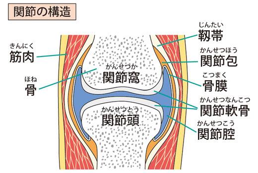 一般的な関節の構造を示しています