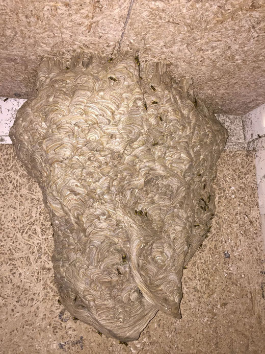 Nest der 'Gemeinen Wespe', ca. 50 cm lang