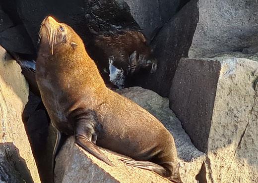 Galapagos Besuchspunkt Puerto Egas_Pelzrobben