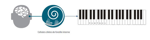 Comparaison de la cochlée de l'oreille et d'un clavier de piano