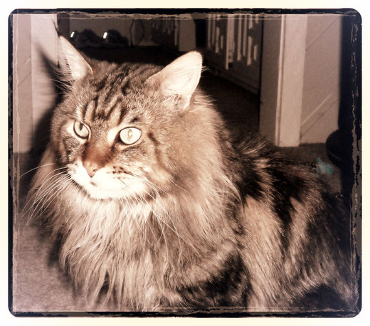 Frances and Juan C. Levesque; Maine Coon Cat; The Great Pharaoh (2000-2017).