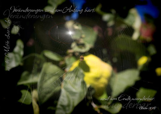 Spinne auf Quittenbaum
