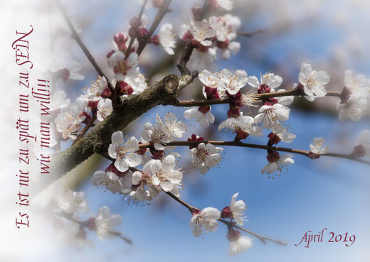 Aprikosen Blüten