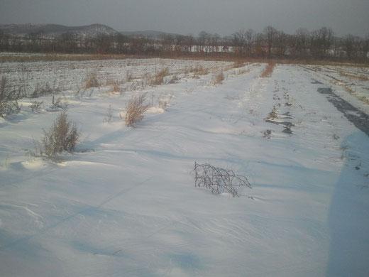 Толстый слой снега самое лучшее укрытие для земляники