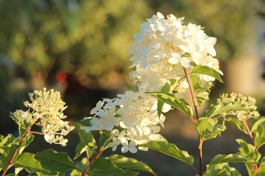 Hydrangea, rosier, aster, graminées, fête des plantes, Haras de Pompadour, horticulture, exposition, jardins de la marquise,artisanat