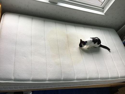 白井市 マットレスクリーニング オシッコ お漏らし 猫