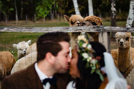 Trauung auf dem Alpakagestpt mit Alpakas im Hintergrund des küssenden Brautpaares