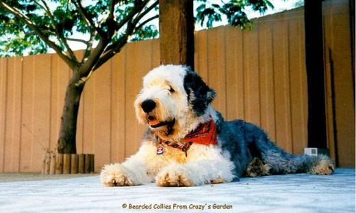 Bearded collie, Bobtail,Old English Sheepdog